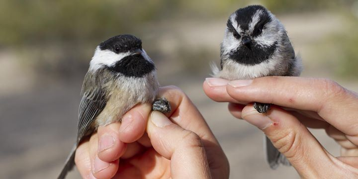 Picture Idaho Bird Observatory - Black-Capped Chickadee and Mountain Chickadee